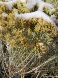 Autumn Scene: Rabbit Brush with Snow