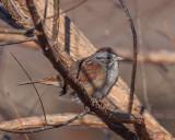 Swamp Sparrows (Melospiza georgiana)