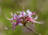 Pink Azalea, Pinxter Flower or Pinxterbloom Azalea (Rhododendron periclymenoides) (DFL0857)