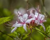 Pink Azalea, Pinxter Flower or Pinxterbloom Azalea (Rhododendron periclymenoides) (DFL0858)