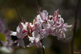Pink Azalea, Pinxter Flower or Pinxterbloom Azalea (Rhododendron periclymenoides) (DFL0861)