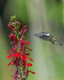 Cardinal Flowers or Cardinal Lobelias