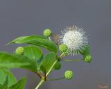Common Buttonbush, Buttonbush, Button-willow or Honey-bells