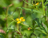 Willow Primrose or Wingleaf Primrose-willow
