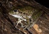 Frogs of Australia (Pelodryadidae)