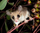 Mammals of Australia (Possums and Gliders)