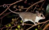Mammals of Australia (Possums and Gliders)