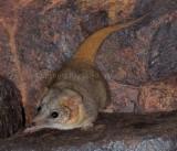 Mammals of Australia (Carnivorous Marsupials)