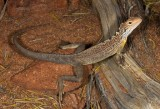 Ctenophorus scutulatus
