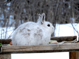 Rabbits, Hares and Relatives