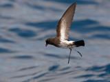 Nieuw-Zeelands Stormvogeltje - New Zealand Storm Petrel - Fregetta maoriana