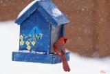 cardinal_rouge