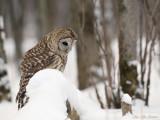chouettes_hiboux_owls