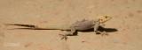 Agama hagedis - Agama lizard - Agama agama