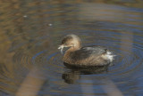 Pied-billed Grebe, non-breeding plumage