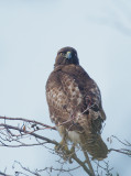 Red-tailed Hawk, first-cycle