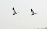 Sandhill Cranes, Ducks, Geese, Swans, Hawks & Other Wildlife of the Sacramento River Delta, 2015-2019