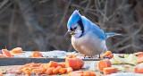 Blue Jay Sampling Carrots P1050548