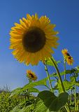 _MG_7130-sunflower-1.jpg