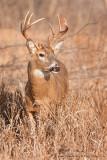 Buck in field