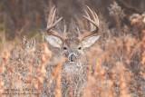Buck in brush