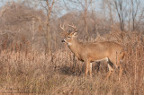 Ten point White-tail in the woods