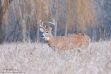 Buck in the field