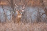 Whitetail Buck near a lake