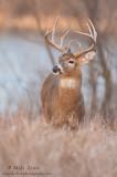 Buck near lake