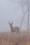 Buck verticle in heavy fog