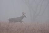 Buck runs in fog