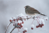 Junco on berries in the snow