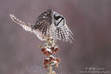 Northern Hawk Owl bombs pine