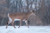 Buck strolls in snowfall