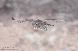 Great Gray owl flies in snowfall