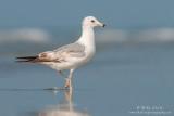 Ring Billed gull on beach