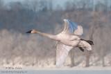 Trumpeter Swan in flight