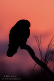 Northern hawk Owl silhouette