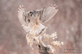 Northern Hawk owl wings wide