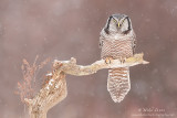Northern Hawk Owl on favorite branch