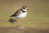 Semi Palmated plover on open waters