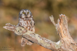 Boreal Owl on lichen covered branch