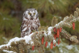 Boreal owl in snow capped pines
