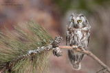 Boreal owl on pine