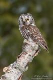 Boreal owl on birch log