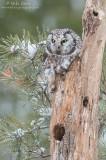 Boreal Owl on dead tree