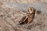 Short-eared Owl in prairie grass