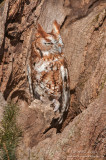 Red morph Eastern-Screech Owl