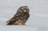 Boreal Owl on snow sheet