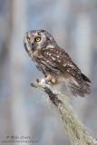 Boreal owl hunting